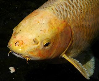 Barbel (anatomy) Whisker-like sensory organs near the mouth of some fish species