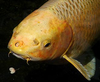 Koi - Koi have prominent barbels on the lip that are not visible in goldfish.