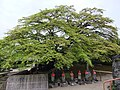 Komine-kaede at Saizen-ji 201404a.JPG