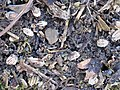 Korina 2011-01-01 Heracleum mantegazzianum 6.jpg