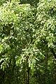 Korina 2011-05-14 Prunus serotina 1.jpg