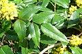 Korina 2016-04-21 Mahonia aquifolium 2.jpg