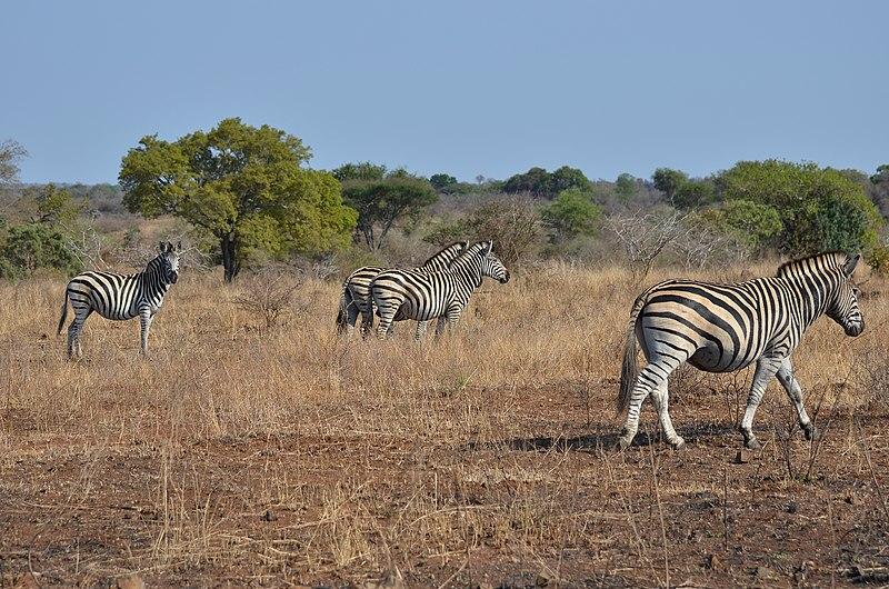 File:Krugerův NP - zebry (zebras) - panoramio.jpg