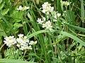 Kulykivka IMG 4668 05 Білі квіточки.jpg