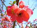 Květ Kdoule 01.JPG