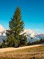 L'A de Bran, (1798 m) Val d'Anniviers. Europese larix (Larix decidua) 02.JPG