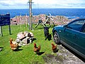 Labrador meets Hens - geograph.org.uk - 63787.jpg