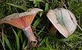 Lactarius deterrimus (6).jpg