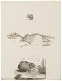 Lagomys pusillus - 1700-1880 - Print - Iconographia Zoologica - Special Collections University of Amsterdam - UBA01 IZ20600171.tif