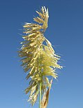 Lamarckia aurea flowerhead5 Denman - Flickr - Macleay Grass Man.jpg