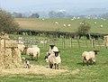 Lambing Time, Gatacre Park Farm, Shropshire - geograph.org.uk - 383254.jpg