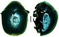 Lamprosoma azureum (10.3897-zookeys.677.10778) Figure 34.jpg