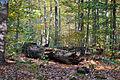 Langes Tannen - Umgestürzter Baum 02.jpg