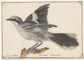 Lanius excubitor - 1753-1834 - Print - Iconographia Zoologica - Special Collections University of Amsterdam - UBA01 IZA1000234.tif