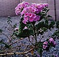 Lantana camara flowers (cropped).jpg