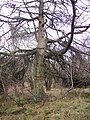Larch, Wakebarrow - geograph.org.uk - 337127.jpg