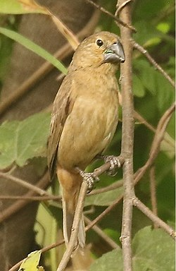 Large-billedSeed-Finch2.jpg