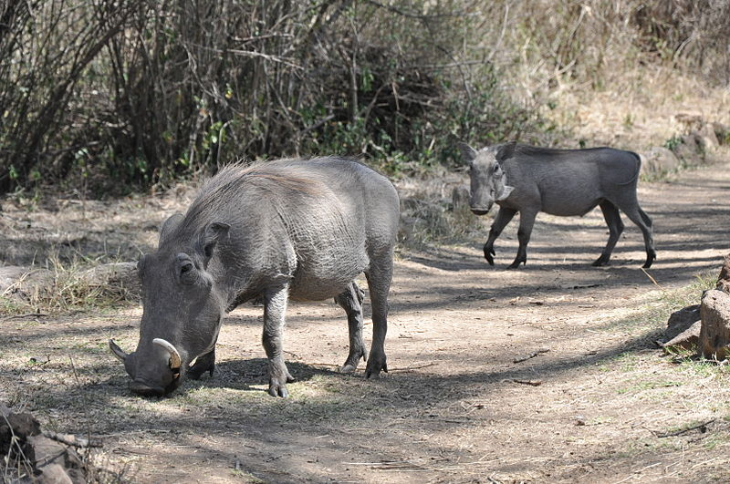 File:Lascar Two warthogs cross the footpath just in front - Nairobi National Park (4519266175).jpg