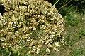 Laserpitium latifolium kz01.jpg