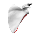 Lateral border of left scapula02.png