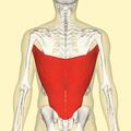 Latissimus dorsi muscle back.png