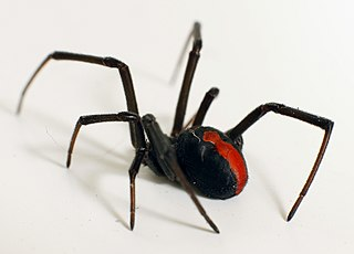 Australisk rödryggad spindel (Latrodectus hasseltii).