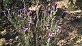 Lavandula stoechas, Santa Coloma de Farners 01.jpg