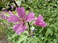 Lavatera olbia 'Tree Lavatera' (Malvaceae) flower.JPG