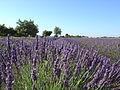 Lavendelfeld in der Provence.jpg