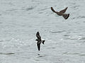 Leach's Storm Petrel escapes Merlin 1.jpg