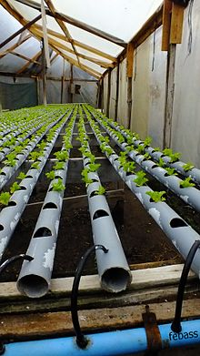 cultivo hidropnico de lechugas