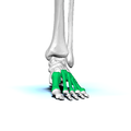 Left Metatarsal bones01 anterior view.png