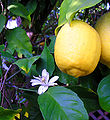 LEMON BENEFITS THERAPEUTIC LEMON Properties