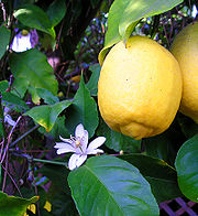 Lemon 8FruitAndFlower wb.jpg
