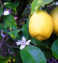 https://upload.wikimedia.org/wikipedia/commons/thumb/f/f6/Lemon_8FruitAndFlower_wb.jpg/200px-Lemon_8FruitAndFlower_wb.jpg