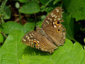 Lemon Pansy (Junonia lemonias) at Madhurawada 02.JPG
