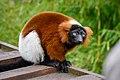 Lemur (25990243647).jpg