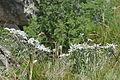 Leontopodium alpinum Stëila dla Elpes a Urtijëi.jpg