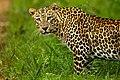 Leopard (1).jpg