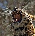 Leopard Head 1 (8682598497).jpg