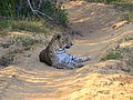 Leopard at Wilpaththu National Park.jpg