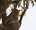 Leopard cub (6141231347).jpg
