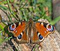 Lepidoptera D8E 5674 (16684486313).jpg