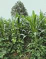Les Plantes Cultivades. Cereals. Imatge 73.jpg