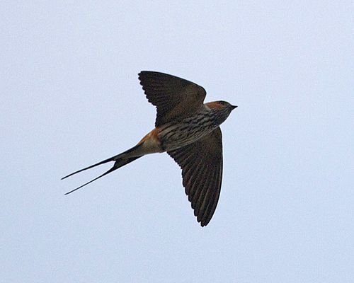 Lesser Striped Swallow (Hirundo abyssinica).jpg