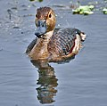 Lesser Whistling-duck (Dendrocygna javanica)- after bath at Kolkata I IMG 2493.jpg