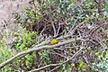 Lesser goldfinch (38441238342).jpg