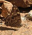Lethe rohria butterfly.JPG
