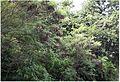 Leucaena leucocephala forêt.jpg