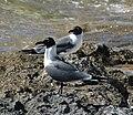 Leucophaeus atricilla (laughing gulls) (15576006561).jpg